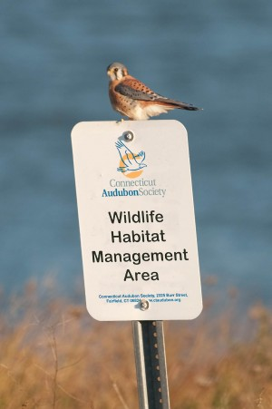 American Kestrel on Connecticut Audubon Society sign