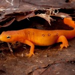 Surprisingly, newts and efts were often found to carry the disease-causing fungus