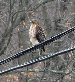 Hybrid Red-tailed x Red-shouldered Hawk - Photo by Frank Gallo