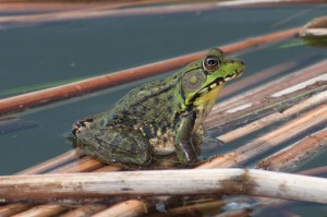 Green Frogs and many other amphibians are common residents of the Huckleberry Swamp