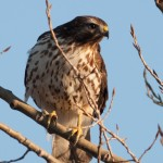 Red-shouldered Hawk-0035 - by Twan Leenders
