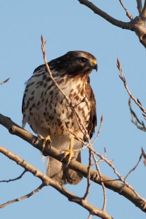 Red-shouldered Hawk-0035 - by Twan Leenders