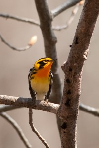 Blackburnian Warbler by Twan Leenders