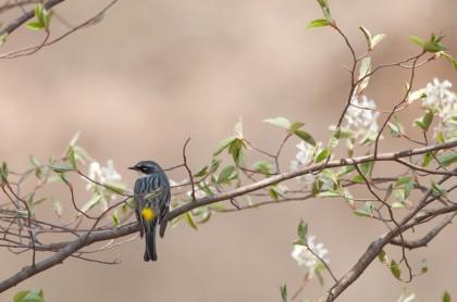 Yellow-rumped Warbler by Twan Leenders