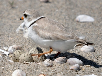 Piping Plover and 4 eggs