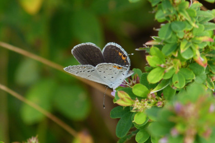 Eastern Tailed-blue butterfly. Photo by Scott Kruitbosch/Copyright Connecticut Audubon Society