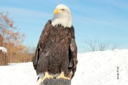 Bald Eagle photo courtesy of Anthony Donofrio