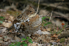 Ruffed Grouse (aka partridge), photographed by Don Morgan
