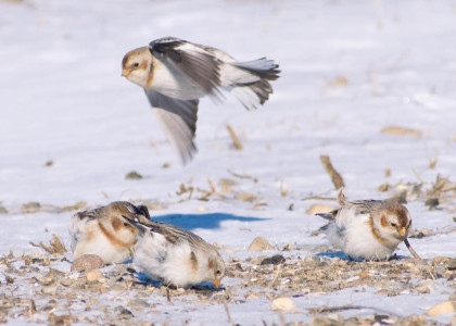 Snow Bunting March 2009 by Twan Leenders (1)