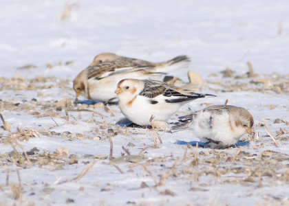 Snow Bunting March 2009 by Twan Leenders (3)