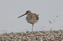 Long-billed Dowitcher standing on one leg in Stratford. Photo courtesy of Donna Caporaso.
