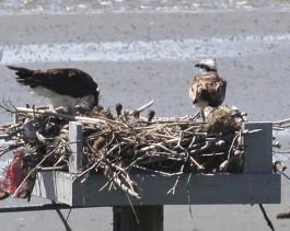 Ospreys on their nest platform at Milford Point. Photo by Sherri Delaney.