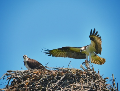 Ospreys in Fairfield. Photo courtesy of Anastasia Zinkerman.