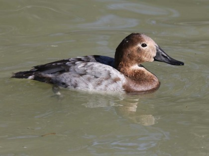 Canvasback female1 Jan2011
