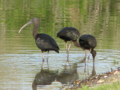 ibis, glossy 01-09 b FL