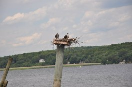 Ospreys nesting on a piling in Old Saybrook. Photo by Lynn Johnson