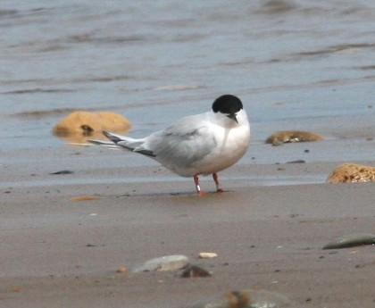 Tern,_Roseate_HilaryChambers