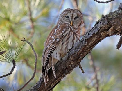 Owl, Barred Mexico Beach FL