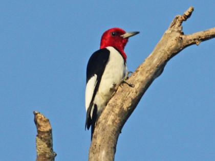 Woodpecker,_Red-headed_2012b