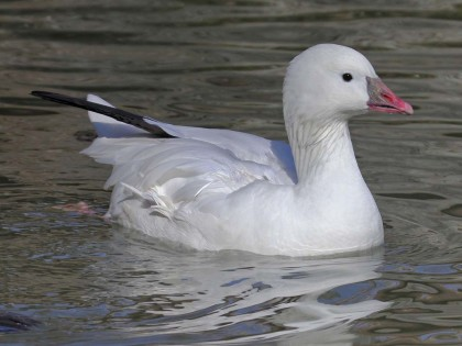Goose, Ross 2m Jan2011DickDaniels