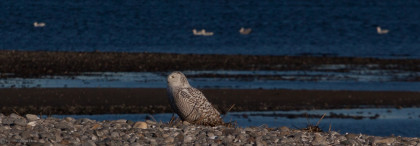 1-22-16 Snowy Owl (6 of 26)