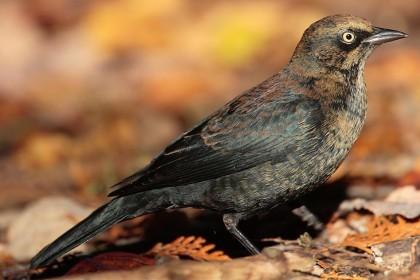 Blackbird, Rusty Mdf