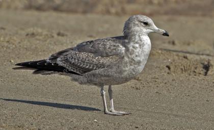California Gull at Hammonasset. Photograph by Stefan Martin