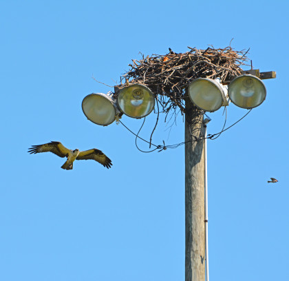 Ospreys in Fairfield. Photo courtesy of Anastasia Zinkerman