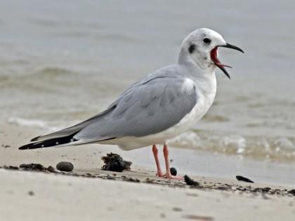 Gull, Bonaparte's_Biloxi2