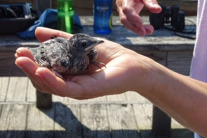 The best advice is to leave baby birds, like this Purple Martin, when you found them. Photo by Stephanie Galea/The Connecticut Audubon Society