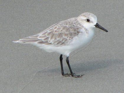 sanderling 09-16 b