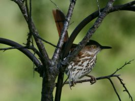 We're restoring habitat to help Brown Thrashers, which are declining in population (photo Carolinabirds.org/Dick Daniels)