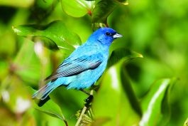 Indigo Bunting populations are rebounding. Photo copyright Julian Hough.