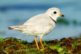 Piping Plovers reamin highly vulnerable despite recent gains. Photo copyright Julian Hough.
