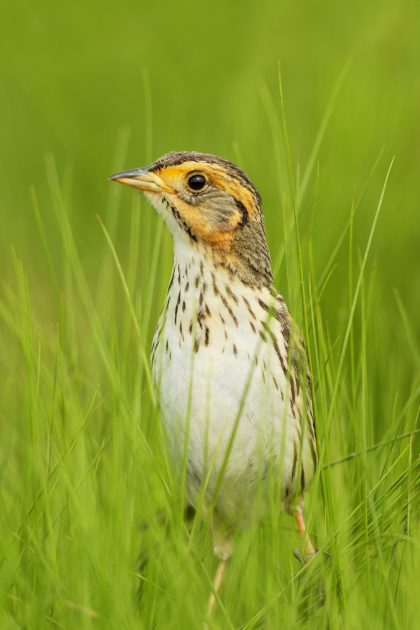 Saltmarsh Sparrow seems headed for extinction. Photo copyright Paul Fusco.