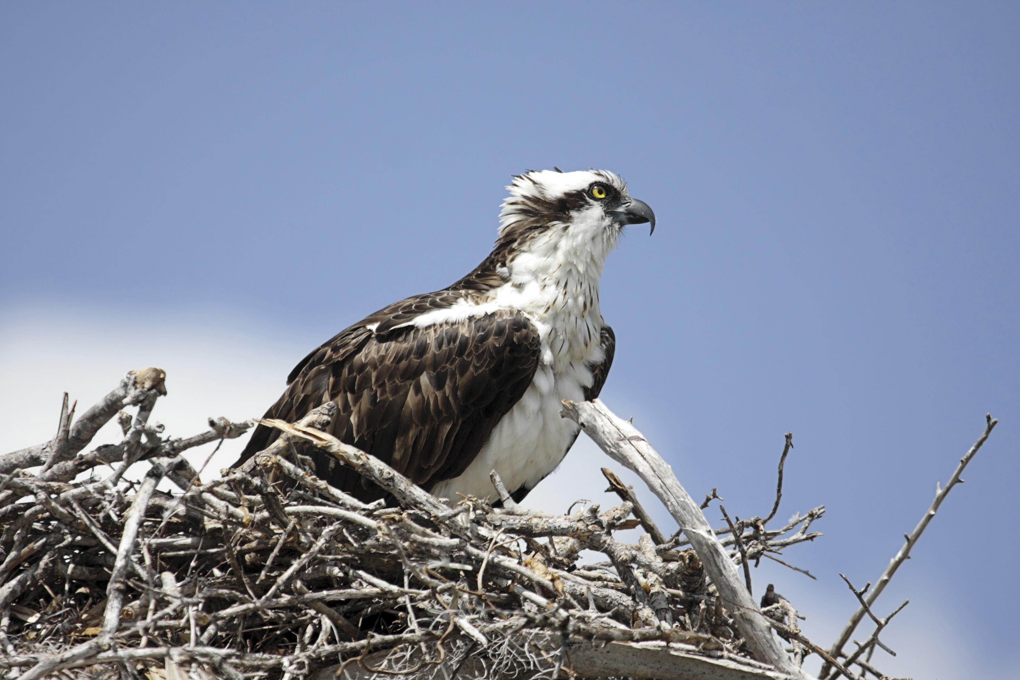 C-ROTO osprey photo