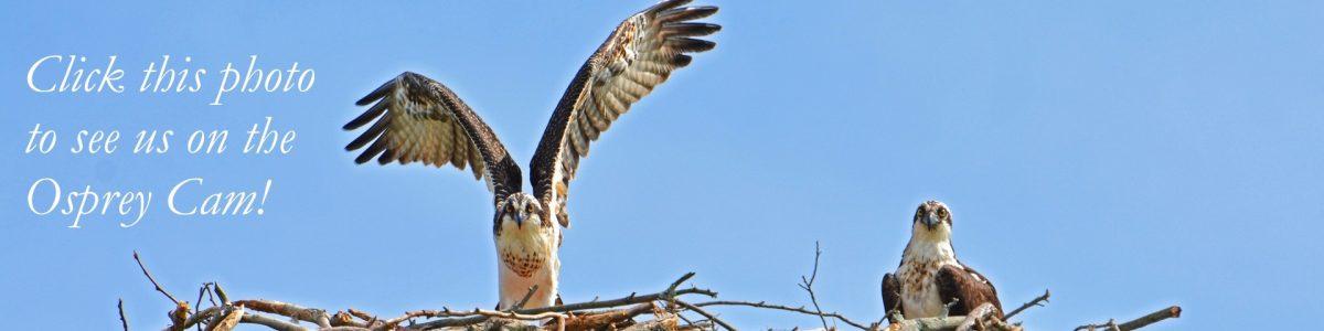 Osprey Cam | CT Audubon Society