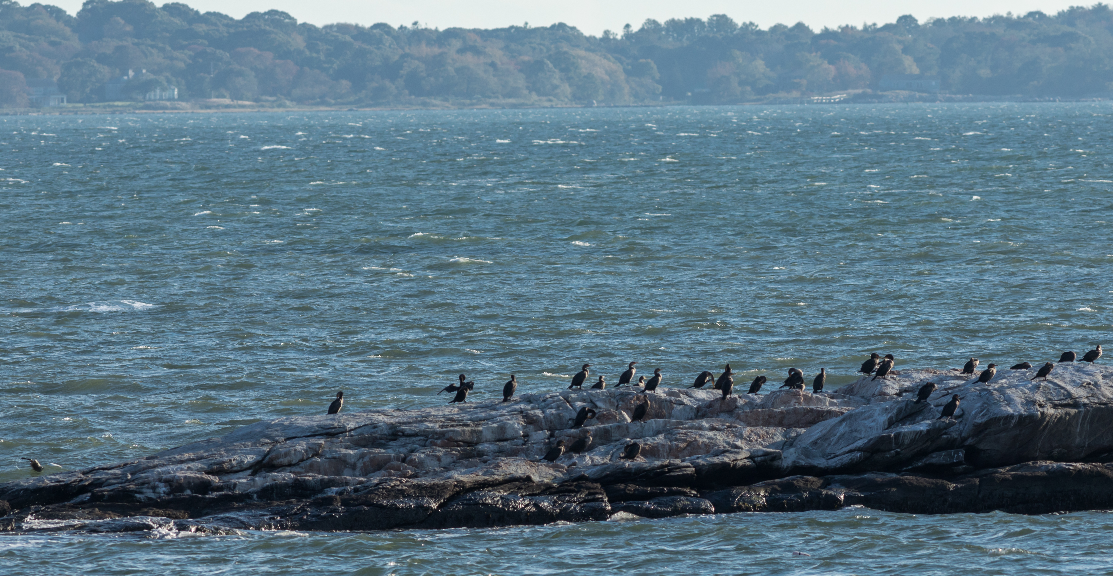 Cormorants off Fishers Island. Photo by Brian Bennett.