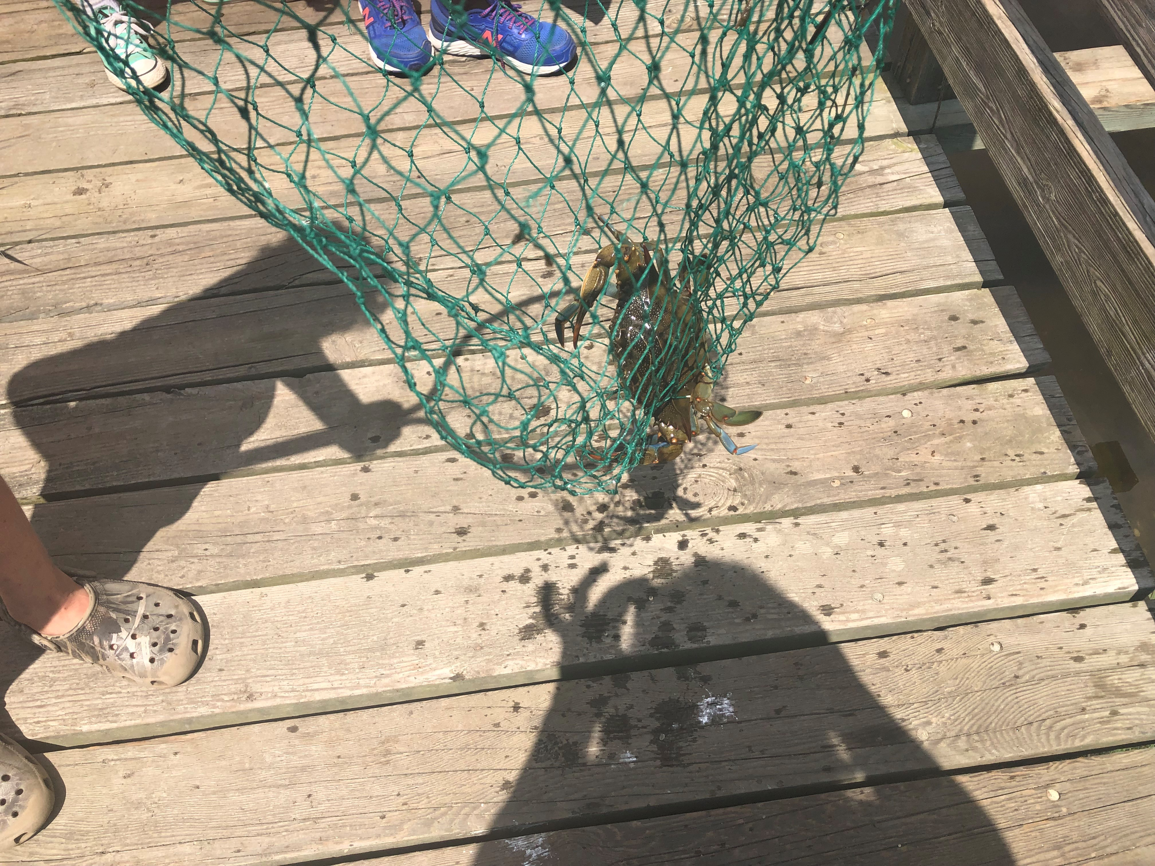 blue crab in a net