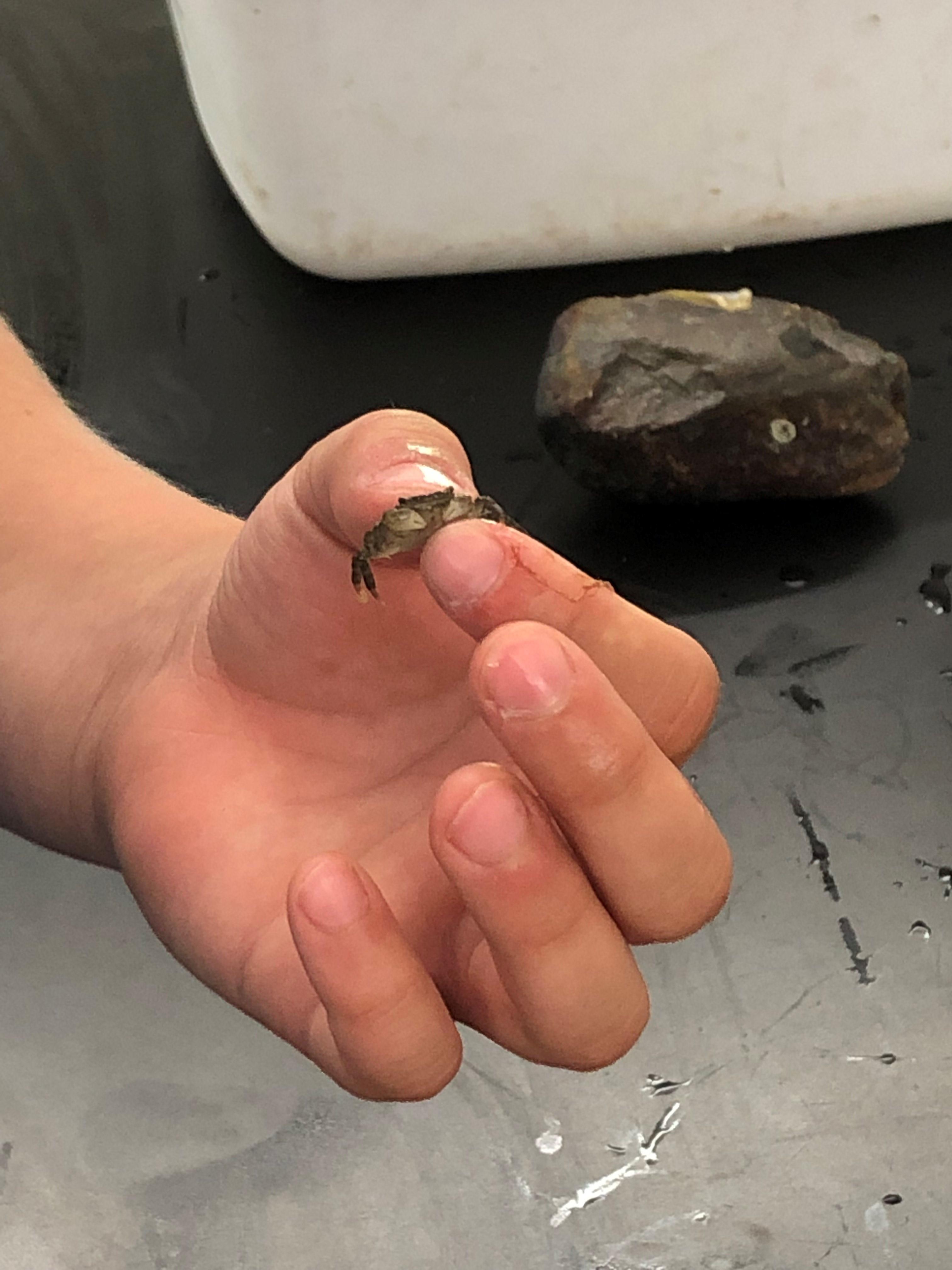 tiny Asian shorecrab