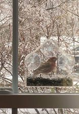 Anne McNulty - House Finch in Cheshire