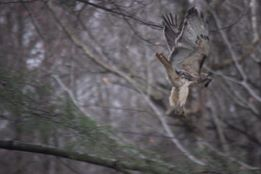 Brian Rooney - Red Tailed Hawk in Wilton