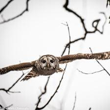 Jeff Campbell - Barred Owl in southwest CT