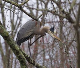 Karen Christman - Great Blue Heron at the Airline trail in Hebron