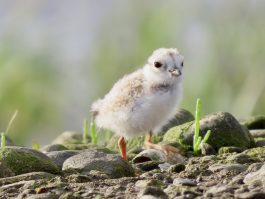 Baby Piping Plover looks at the camera