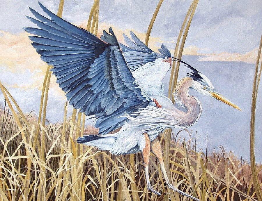 Landing Great Blue Heron