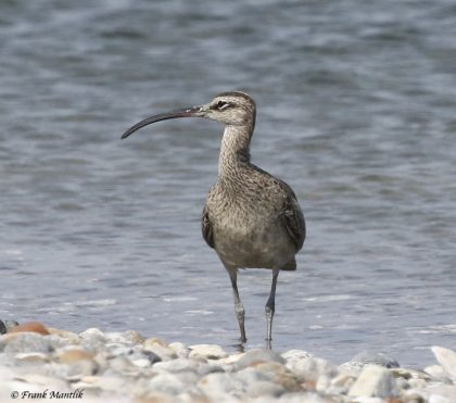 A Whimbrel at Milford Point, photographed recently by Frank Mantlik. Size is hard to judge without another bird in the photo but the long, down-curved bill is unmistakable.