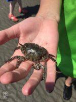 CC Shore Crab in hand