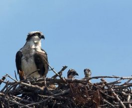 Osprey mom with her two babies